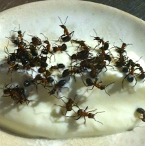 Live Ants In Yogurt by Chef Rene Redzepi Owner Of Noma Restaurant in Denmark